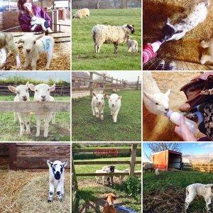 Lambs all